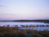 Barren-Ground Caribou Swim Across a River During Their Annual Migration Photographic Print