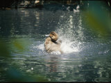 A Duck Splashes the Water with its Rump Feathers Photographic Print by Vlad Kharitonov