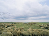 Birds Fly over a Flock of Sheep Photographic Print by Sisse Brimberg