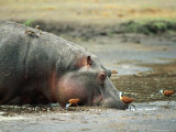 Hippopotamus Drinking in a Marsh Near Several African Jacanas Photographic Print by Beverly Joubert