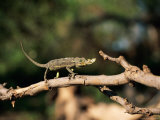 Chameleon on a Tree Limb Photographic Print by Beverly Joubert