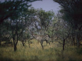 Two Zebras in a Wooded Patch on the Veldt Photographic Print