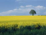 Vue pittoresque de champs de colza jaune vif avec un seul arbre vert au sommet d'une colline Papier Photo