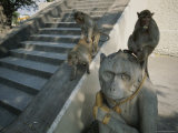 A Pair of Monkeys Mate on a Stairway as Another Eats Atop a Statue Photographic Print by Jodi Cobb