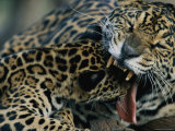 A Jaguar Plays with its Cub Photographic Print