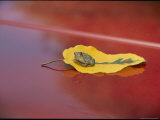 A Frog Rests on a Yellow Leaf That Sits on a Red Car Photographic Print by Vlad Kharitonov