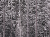 Detail of Snowy Trees with Long Straight Trunks Photographic Print by Mattias Klum