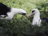 A Mating Pair of Albatrosses Photographic Print by William Allen