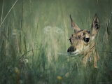 The Head of a Pronghorn Fawn Photographic Print