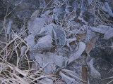 Frost-Covered Leaves Litter the Ground Photographic Print by Roy Gumpel