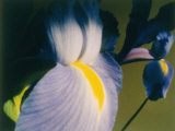 A Close-up of an Iris Photographic Print by Sisse Brimberg