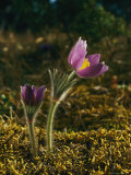 Pasque Flower Photographic Print by Mattias Klum