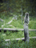 A Great Gray Owlet, Five or Six Weeks Old, Sits Primly on a Fence Post Photographic Print