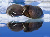 Two Large Atlantic Walrus Bulls Rest Peacefully Together Photographic Print