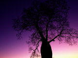 Silhouetted Baobab Tree Near Jandowae Photographic Print by Medford Taylor