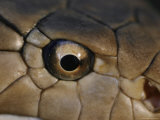 An Eye-To-Eye View of a King Cobra Showing its Olfactory Pit Fotografisk tryk af Mattias Klum