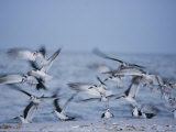 A Flock of Black Skimmer Birds on the Shore of Sanibel Island Photographie par Norbert Rosing