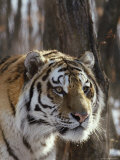 Portrait of an Adult Male Siberian Tiger Photographic Print by Dr. Maurice G. Hornocker