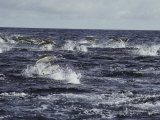 A School of Porpoises Jump over the Surface of the Ocean Photographic Print by Bill Curtsinger