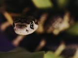A Head-On View of a Small King Cobra Photographic Print by Mattias Klum