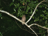 Night View of an Owl Perching on a Branch Photographic Print by Michael Fay