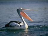 Pelican with its Mouth Open Photographic Print by Clarita Berger