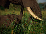 Juvenile African Elephant Being Fed by its Parent Photographic Print by Beverly Joubert
