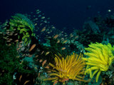 Small Fishes Swim Amongst Corals and Crinoids on a Reef Photographie par Wolcott Henry