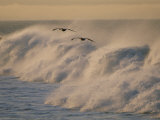 A Pair of Brown Pelicans Glides Above the Surf on Offshore Winds Photographic Print