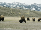 American Bison Graze on a Football Field Near the Mountains Photographic Print by Tom Murphy