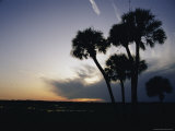 Tall Palm Trees Silhouetted against the Evening Sky in Pensacola Photographic Print by Stacy Gold