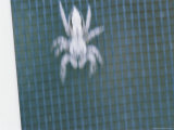 A Jumping Spider is a Blur of Motion on a Screen Door Photographic Print by Brian Gordon Green