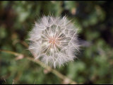 A Dandelion Before its White Puffy Seeds Blow Away Photographic Print by Todd Gipstein