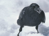 A Raven Eats a Mouthful of Snow Papier Photo par Tom Murphy
