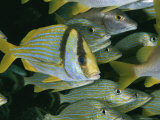 A School of Porkfish Finds Safety in Numbers Photographic Print by Brian J. Skerry