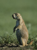 A Prairie Dog (Cynomys Sp.) Scans its Territory for Predators Photographic Print by Michael Melford