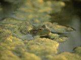 A Bullfrog Peers Above an Algae Covered Pond Photographic Print by Joel Sartore