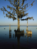 Mangrove Tree with Spanish Moss Photographic Print by Steve Winter