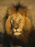 A Portrait of a Male African Lion Sitting in the Sun Photographic Print