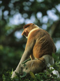 A Male Proboscis Monkey, Nasalis Larvatus, Perches on a Branch Photographic Print by Tim Laman