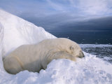 A Male Polar Bear Recovers from a Tranquilizer Outside its Summer Den Photographic Print by Paul Nicklen
