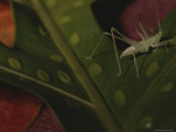 A Grasshopper Scales a Leaf Photographic Print by Randy Olson