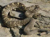 A Northern Blacktail Rattlesnake (Crotalus Molossus Molossus) Photographic Print by Michael Melford