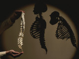 Australopithecus Afarensis Model with Human and Chimp Shadows Behind Photographic Print by Kenneth Garrett