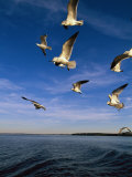 Gulls in Flight Fotografie-Druck von Steve Winter