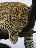 Close View of Leopard in Tree Fotografisk tryk af Norbert Rosing