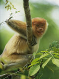 A Young Male Proboscis Monkey, Nasalis Larvatus, Grins from a Perch Photographic Print by Tim Laman