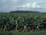 Overview of a Banana Plantation Photographic Print by Steve Winter