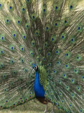 A View of an Indian Peacock with Tail Feathers Spread Photographic Print by Norbert Rosing