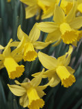 Spring Flowers, Daffodils, Early Spring, Massachusetts Photographic Print by Darlyne A. Murawski